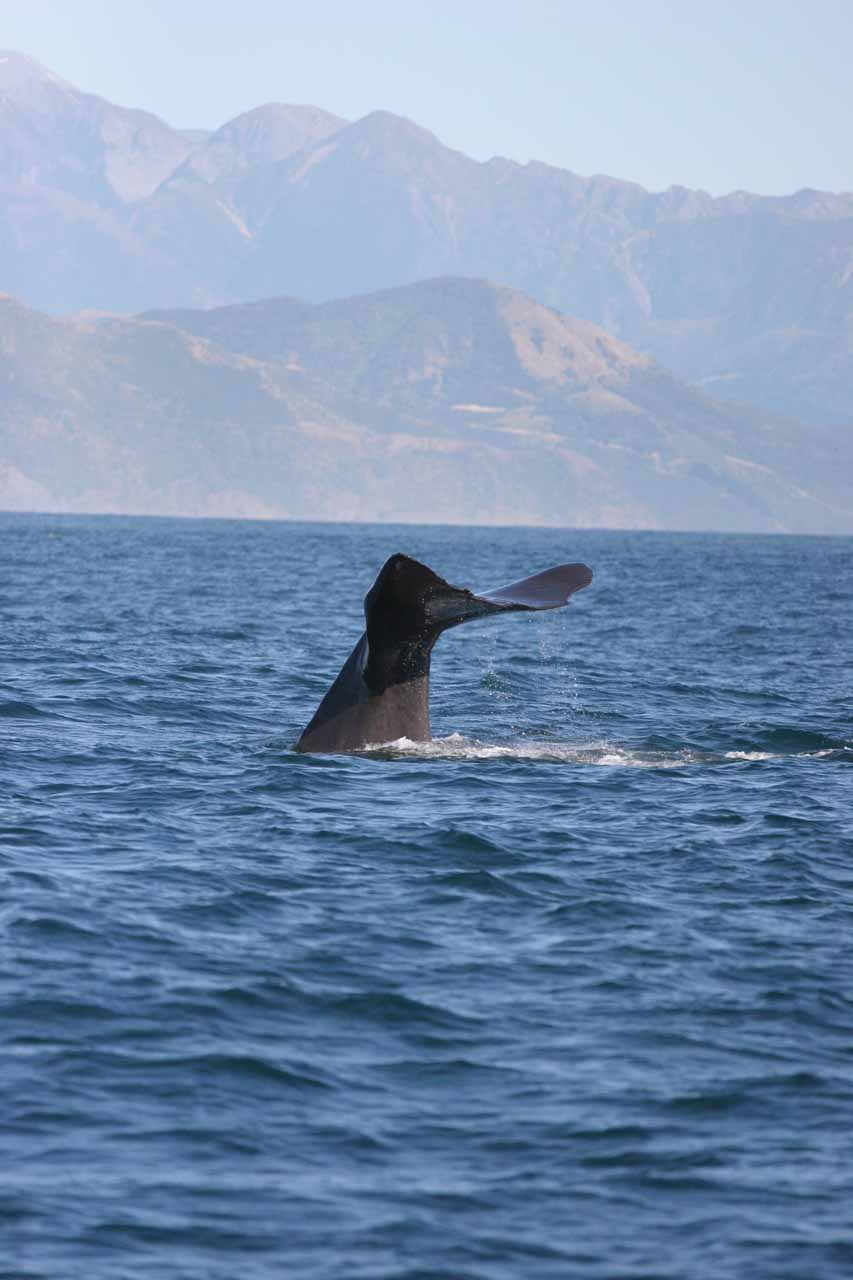 The sperm whales tended to only show their tail when they would go for a dive