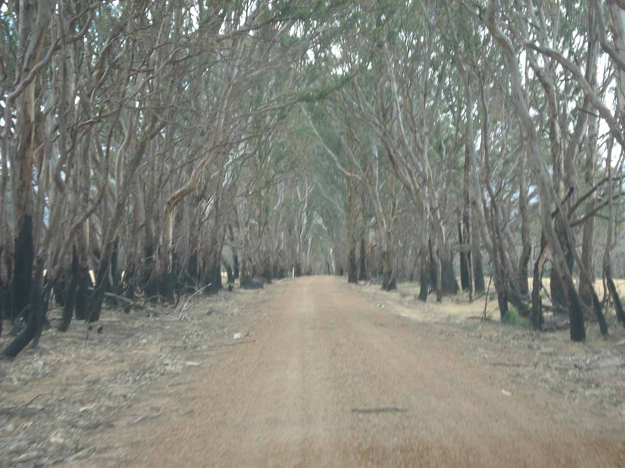Following a road flanked by burnt trees