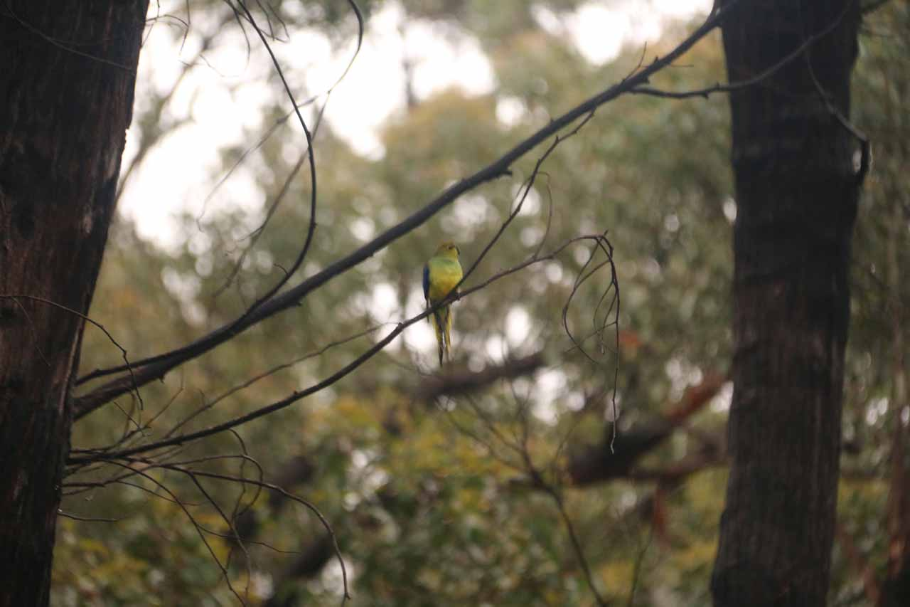 With so much peace and quiet in this more remote part of the Grampians, we couldn't help but notice birdsongs breaking the silence of the forest. This green bird was one such character breaking the silence