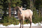 Kananaskis_013_09222010 - Mountain goat or bighorn sheep?