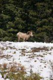 Kananaskis_019_09222010 - Mountain goat or bighorn sheep?