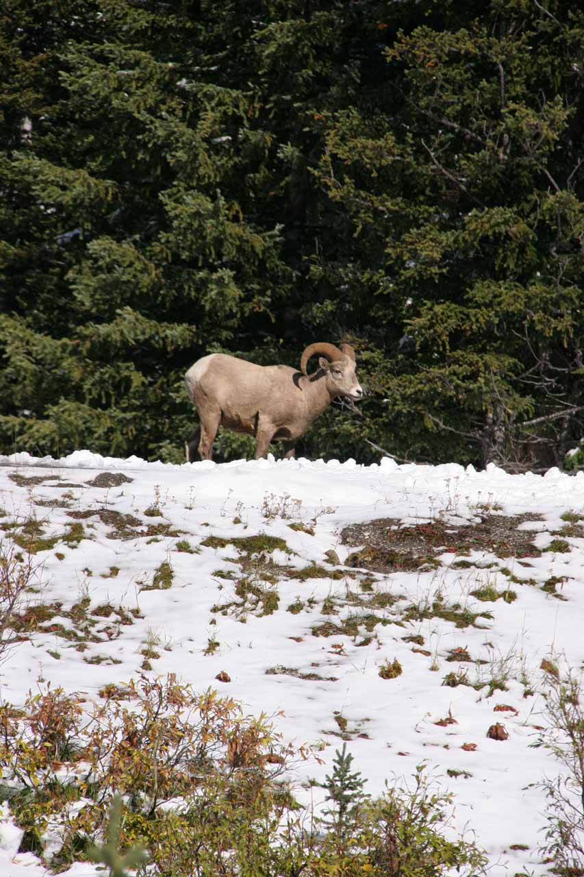 Mountain goat or bighorn sheep?
