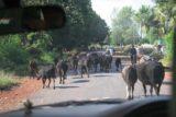 Karnataka_006_11142009 - Dodging cows on the way to Jog Falls from Sirsi