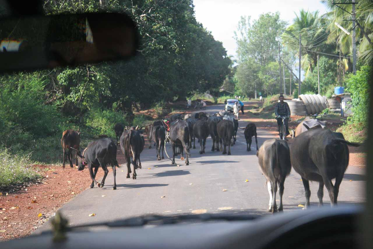 Dodging cows on the way to Jog Falls from Sirsi