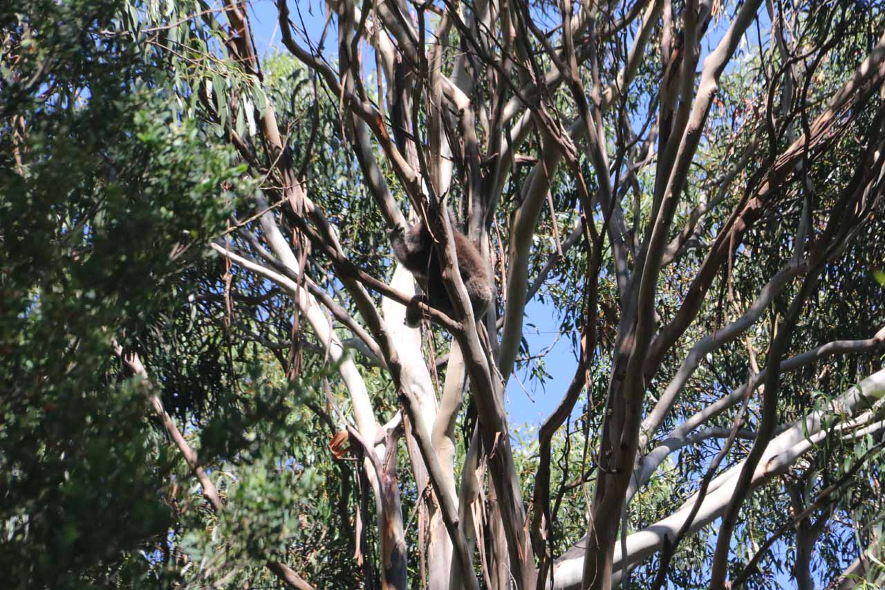 Roughly 7km east of Carisbrook Falls along the Great Ocean Road was Kennett River, which was one of the few places where it was possible to spot a koala hanging high up on one of the gum trees there