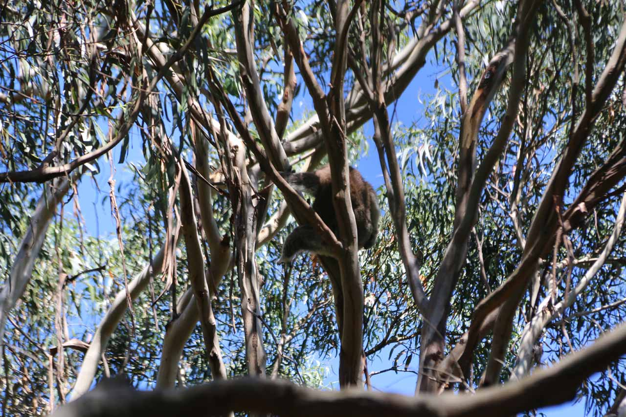 On the way to Lorne, we made a quick stop at Kennett River to see koalas hanging on some of the tall gum trees there. It was one of the few places to spot them in their natural habitat