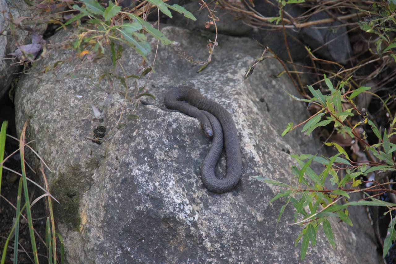 The snake near the picnic area at Kent Falls