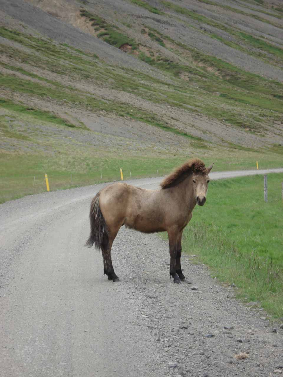 This beautiful Icelandic horse didn't feel like moving out of the way