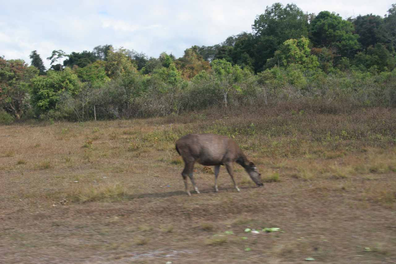 A key feature of Khao Yai National Park was the chance of seeing wildlife like this deer grazing in an open area