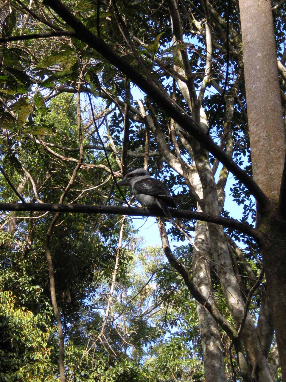 Looking up at some bird along the start of the Kondalilla Falls Walk