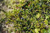Kornsa_085_08162021 - Closeup look at some wild blueberries growing around the rim of the canyon of Kornsa (Kornsagljufur?)