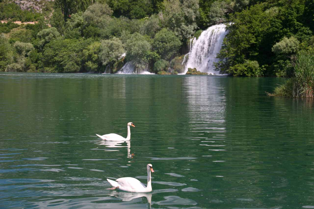 Geese swimming before Mlinovi Falls