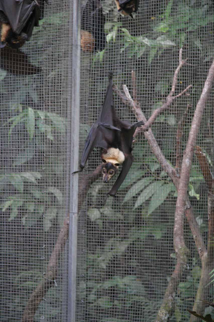 Other fruit bats