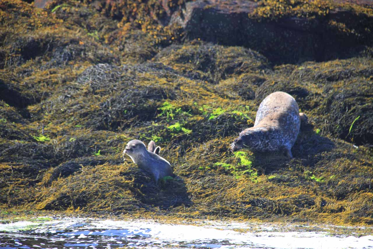 We noticed quite a few seals with pups