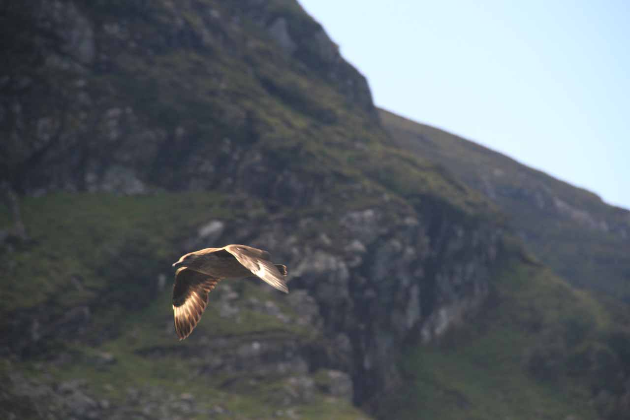 One of the birds of prey who hunt in the Loch Glencoul area who happened to be flying at the same speed as the boat