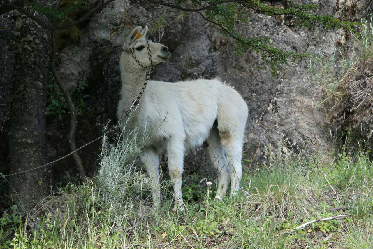 Guanaco by the trail