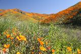 Lake_Elsinore_028_03172019 - The incredible Walker Canyon superbloom of California Poppies