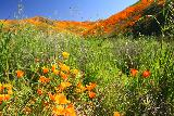 Lake_Elsinore_033_03172019 - We literally had a field day trying to compose meaningful photographs of this rare superbloom of California Poppies in Lake Elsinore