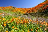 Lake_Elsinore_049_03172019 - More incredible scenery looking up Walker Canyon at the superbloom of California Poppies