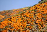 Lake_Elsinore_091_03172019 - Looking across Walker Canyon at some people who managed to scramble up to other mats of California Poppies without nearly as many people around