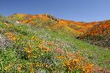 Lake_Elsinore_109_03172019 - Yet another look along Walker Canyon at the superbloom of California Poppies