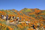 Lake_Elsinore_122_03172019 - Lots of people enjoying themselves taking pictures amongst the flowers comprising the California Poppies Superbloom
