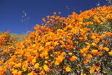 Lake_Elsinore_123_03172019 - Contrasting the colorful poppies and purple flowers with the deep blue skies of this warm Sunday as Santa Anas were in effect