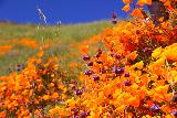 Lake_Elsinore_133_03172019 - Another look at the colorful orange California Poppies Superbloom with purple flowers juxtaposed against fields of green and blue sky