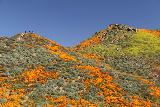 Lake_Elsinore_146_03172019 - Another look up towards the top of the ridge above Walker Canyon with mats of orange poppies beneath them
