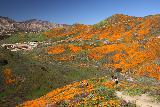 Lake_Elsinore_152_03172019 - Looking down towards another large mat of California Poppies from the left of the ridge overlooking Walker Canyon