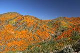 Lake_Elsinore_155_03172019 - More of the California Poppies Superbloom to the left of the ridge 4wd road adjacent to Walker Canyon