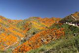 Lake_Elsinore_161_03172019 - Context of the 4wd ridge road and trail with more of the California Poppies Superbloom as I went higher up Walker Canyon