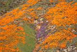 Lake_Elsinore_168_03172019 - Some purple wildflowers growing amidst the Orange California Poppies Superbloom in Walker Canyon