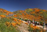 Lake_Elsinore_172_03172019 - Context of the busy 4wd trail that people were walking on while flanked by giant mats of the California Poppies Superbloom