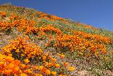 Lake_Elsinore_179_03172019 - More of the orange California Poppies juxtaposed against blue skies and some greens in Walker Canyon