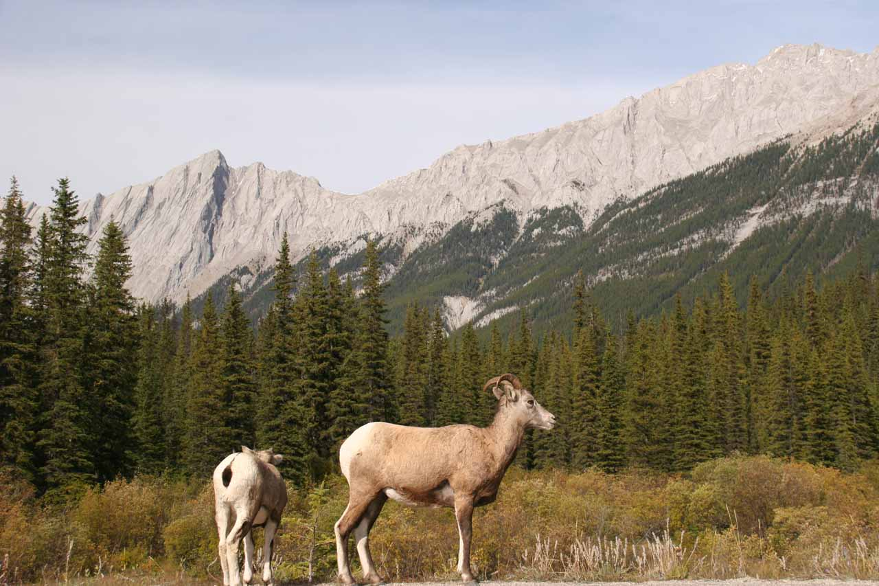 We saw some mountain goats or rams en route to Lake Maligne