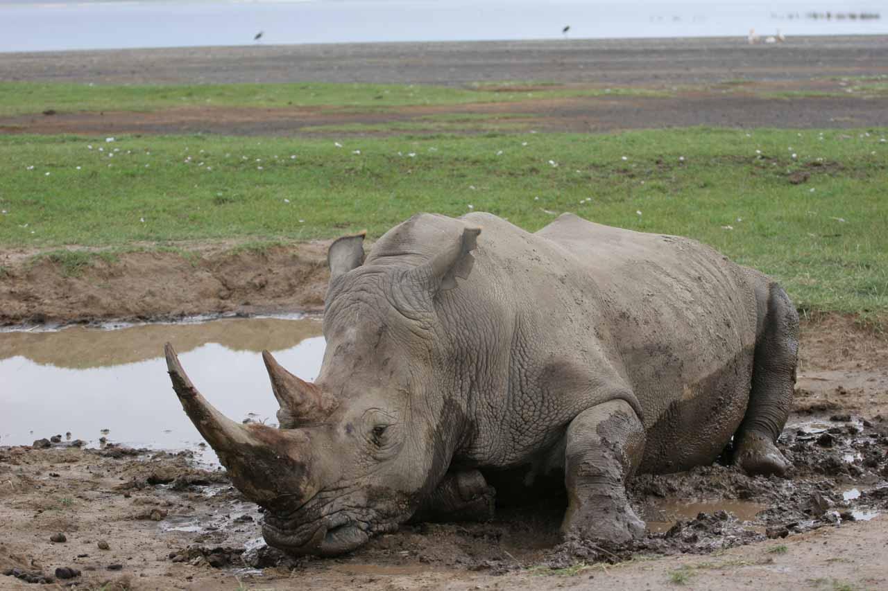 White rhino wallowing in mud
