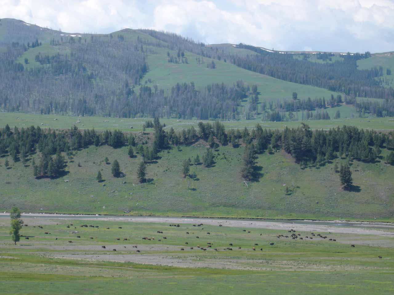 A herd of bison at the Lamar Valley though we were looking for wolves