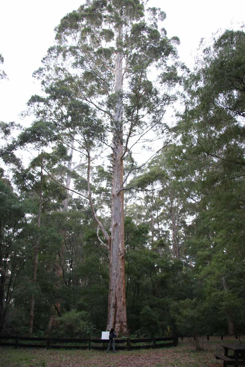 The Boolara Tree at the trailhead for Lane-Poole Falls