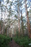 Lane-Poole_Falls_009_06182006 - Walking amongst the karri trees