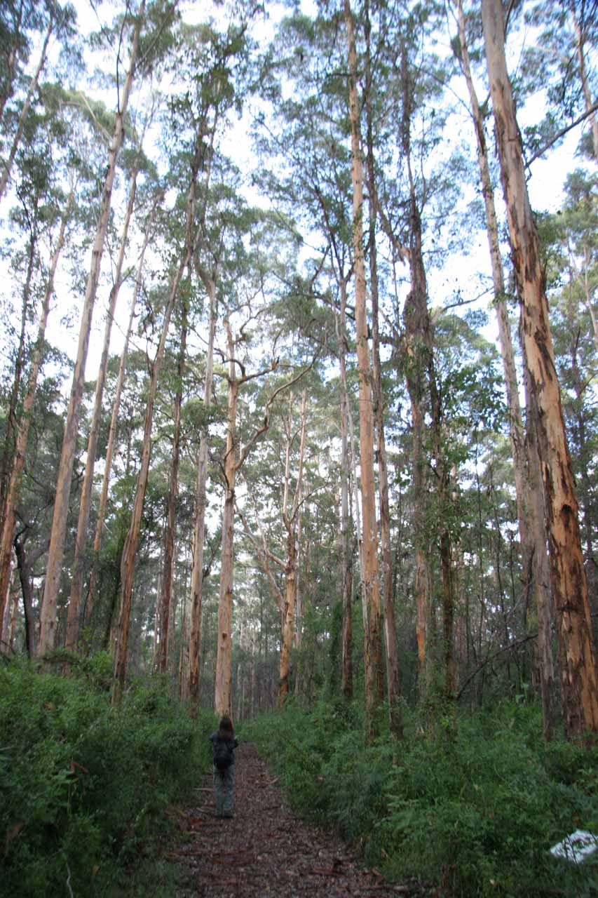 Julie towered over by tall karri trees while on the Lane-Poole Falls Track