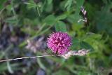 Lappland_211_07072019 - Closeup look at a flower seen alongside the Lohktajohka trail in Swedish Lappland