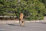 Lassen_misc_002_07122016 - Checking out a deer licking pavement