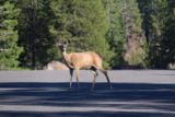 Lassen_misc_005_07122016 - Another one of the deer looking for sweets at one of the parking lots in Lassen Volcanic National Park