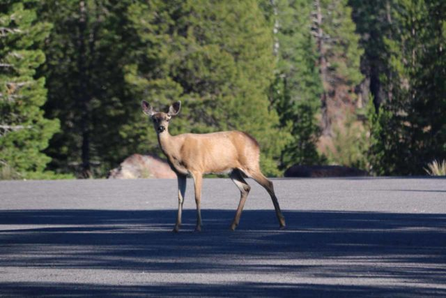 Lassen_misc_005_07122016 - While driving near the north entrance of Lassen Volcanic National Park, we noticed deer by the road