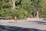 Lassen_misc_009_07122016 - The pair of deer licking something in the pavement at this Lassen Park parking lot