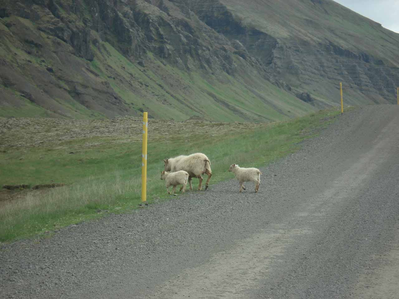 While driving the unpaved route 48, we shared the road with sheep