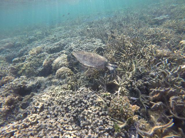 Le_Lagoto_177_goPro_11152019 - Because Savai'i Island was very quiet compared to 'Upolu Island, the snorkeling was very good, and I even spotted a sea turtle right off the waters of our resort on the northeastern shores