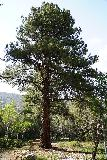 Lehman_Creek_072_06152021 - This was another look at the same tall tree towering over the Upper Lehman Creek Day Use Picnic Area