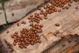 Lewis_Falls_17_166_06102017 - More ladybugs on a different part of the wood on the ground on the Lewis Falls Trail